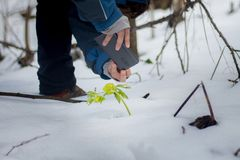Women taking a photo of Hellebore plant in the snow. Herald of spring. Close-up view of the woman who photographed Hellebore plant Helleborus odorus with mobile royalty free stock photos