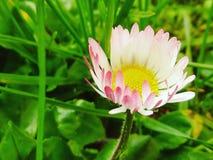 Heraldos de la primavera imagenes de archivo