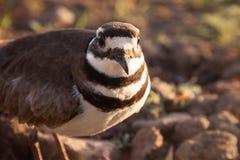 Herauf Abschluss eines Killdeer-Vogels Lizenzfreie Stockfotografie