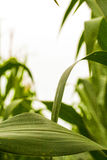 Herauf durch die Maisvertikale Stockfotos