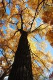 Herauf einen hohen Baum mit gelben Blättern gerade schauen Lizenzfreies Stockbild