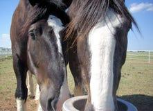 Herauf nahe Pferde Stockfotografie