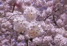 Herauf nahen Cherry Blossoms Lizenzfreies Stockfoto