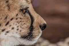 Herauf nahes Porträt eines Gepards stockbild