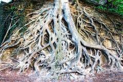 Herausgestellte Wurzeln eines großen Baums in Greenville South Carolina stockbilder