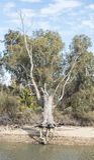 Herausgestellte Wurzeln Gumtree Australien Stockbild