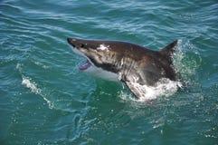Herausspringen des Weißen Hais von Ozean Stockbild