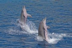Herausspringen mit zwei Delphinen des Wassers Lizenzfreie Stockfotografie