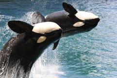 Herausspringen mit zwei Mörderwalen des Wassers Lizenzfreies Stockfoto
