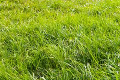 Herb. Grass in dew. Early morning Royalty Free Stock Images