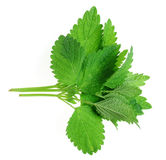 Herb balm Stock Images