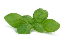 Herb Basil Stock Photography