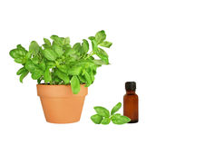 Herb Basil. Basil herb growing in a terracotta pot with a specimen leaf sprig and an aromatherapy essential oil glass bottle, over white background stock photography
