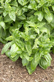 Herb - Basil - Dolce Fresca Stock Image