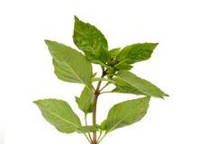 Herb basil Stock Photos