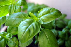 Herb basil Stock Photos