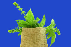 Herb basil in jute bag Royalty Free Stock Photo