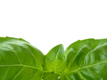 Herb - basil leaves Royalty Free Stock Images