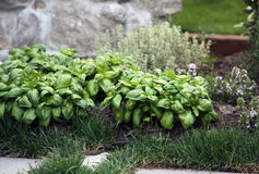 Herb basil and thyme plants on the garden bed Royalty Free Stock Image