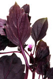 herb basila Obraz Stock