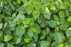 Herb Betel Leaf verde arbusto ou gaiteiro é a folha de uma videira pertence Fotos de Stock Royalty Free