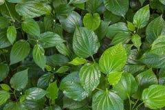 Herb Betel Leaf verde arbusto ou gaiteiro é a folha de uma videira pertence Foto de Stock Royalty Free