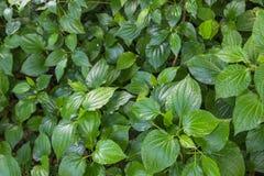 Herb Betel Leaf verde arbusto ou gaiteiro é a folha de uma videira pertence Fotografia de Stock Royalty Free
