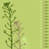 Herb Capsella bursa-pastoris Brassicaceae medicinal växt Kort tecknad hand stock illustrationer