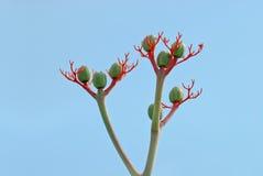 Herb of Chien Briggsia. Its scientific name is Jatropha Podagrica Stock Image
