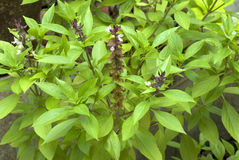 Herb- Clove basil- leaves and flowers Royalty Free Stock Photos