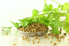 Herb coriander with seeds Royalty Free Stock Photography