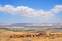 Herb of Cows. Landscape Of Galilee Mountains With Herb Of Cows On The Pasture Royalty Free Stock Photography