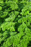 Herb of curly parsley Stock Photo