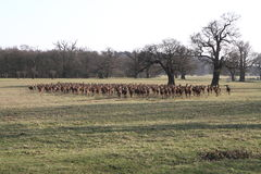 Herb of deer Royalty Free Stock Images