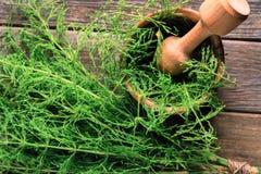 Herb equisetum arvense Royalty Free Stock Images