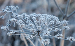Herb family umbellate covered rime. Herb family umbellate covered with hoarfrost closeup Stock Photo