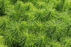 Herb Field horsetail Royaltyfria Bilder