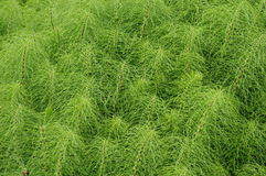 Herb Field horsetail. Medicinal Herb Field horsetail stock photo