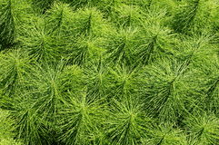 Herb Field horsetail Royalty Free Stock Images