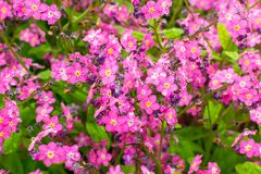 Herb flowerbed plant, abundantly blooming with small purple flowers with rain drops. Flowers with purple petals for garden stock image
