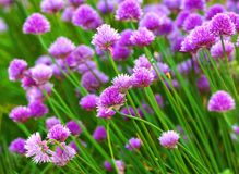 Herb flowers Stock Images
