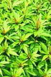 Herb of Fortune Eupatorium Stock Photos