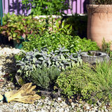 Herb Garden. Collection of Herbs planted together in small garden bed Stock Images