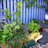 Herb Garden. Collection of Herbs planted together in single pot Stock Photography