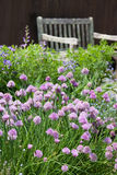 Herb Garden. Chives blossoming in a herb garden royalty free stock photos