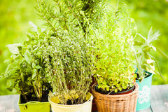 Herb garden Royalty Free Stock Photography