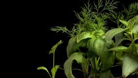Herb Garden Time-lapse stock video