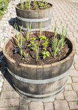 Herb Garden in Wine Barrels Stock Photos