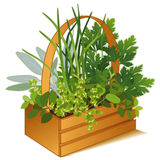 Herb Garden in Wooden Basket. Garden of herbs growing in a wooden garden basket. From left to right: Italian Oregano, Garden Sage, Chives, Flat Leaf Italian Royalty Free Stock Photos