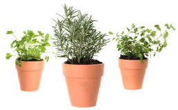Herb Gardening With Majoram, Cilantro and Rosemary Stock Images